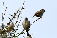 12CC House Sparrow