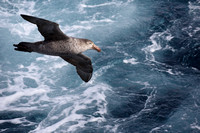 18Sea Northern Giant Petrel