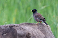 561Khu Myna on Cow