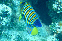 16Ap Regal Angelfish (5)