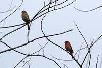 11CC House Finch