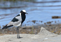 1026Ng Blacksmith Plover