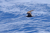 3Ap Brown Noddy (4)