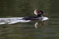 10CC Hooded Merganser