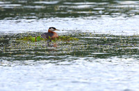 2Sew Red-necked Grebe on Nest