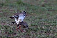 4Mar Crowned Plover Mating