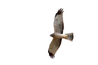 18Ar Northern Harrier Hawk (3)