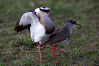 5Mar Crowned Plover Mating