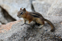 3Sap Golden-mantled Ground Squirrel (1)