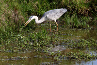 8Mar Grey Heron