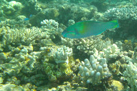 9Row Bullet-head Parrotfish