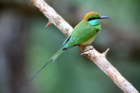 10Wil Green Bee Eater