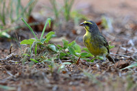 8Pha Yellow-fronted Canary (4)